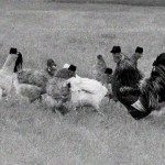 Fighting Chickens of the Civil War