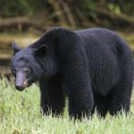 Bear Question Derails First Mayoral Debate