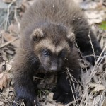 Baby Wolverine for Sale