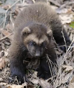 baby wolverine