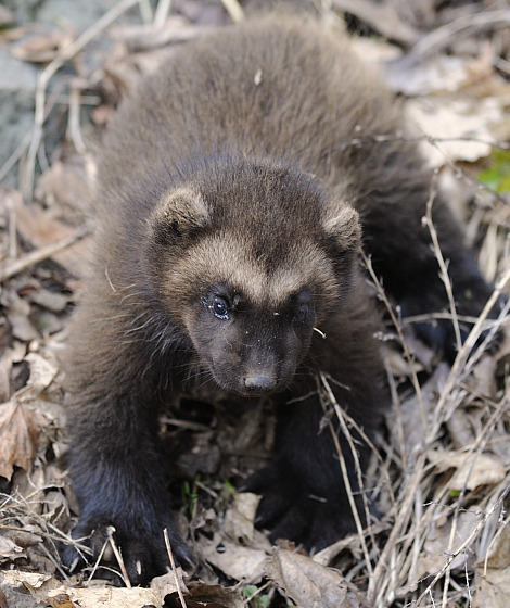 Check out this spoof classified ad in the Coma News Daily for a newborn wolverine: For Sale: Baby Wolverine—Have a litter of baby wolverines for sale. Great pets as long as you keep them in a.