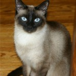 Classified: Siamese Cat for Sale