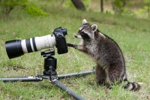 Northern Racoon in Texas Hill Country, Comfort Texas